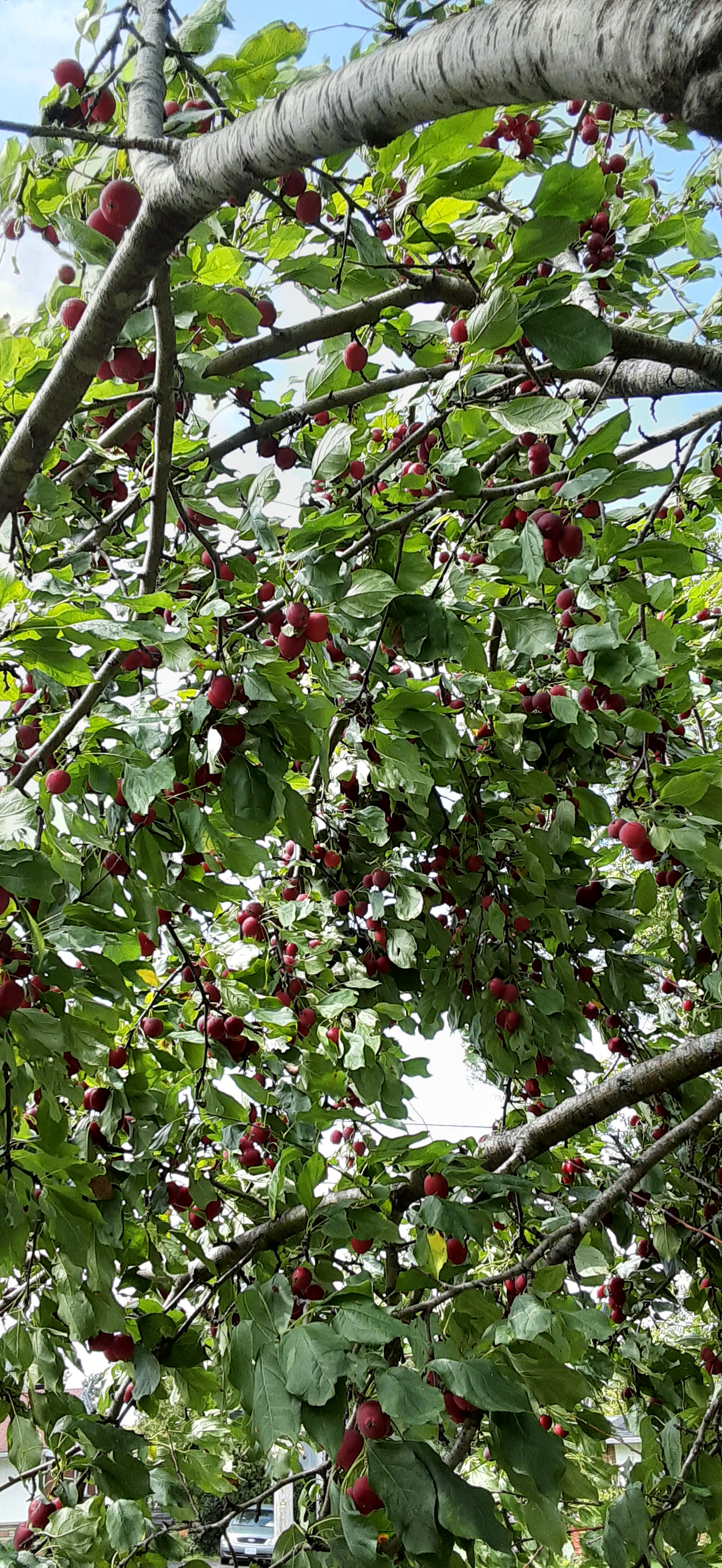 View of crab apples on branches above