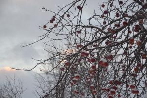 Crab apples in winter