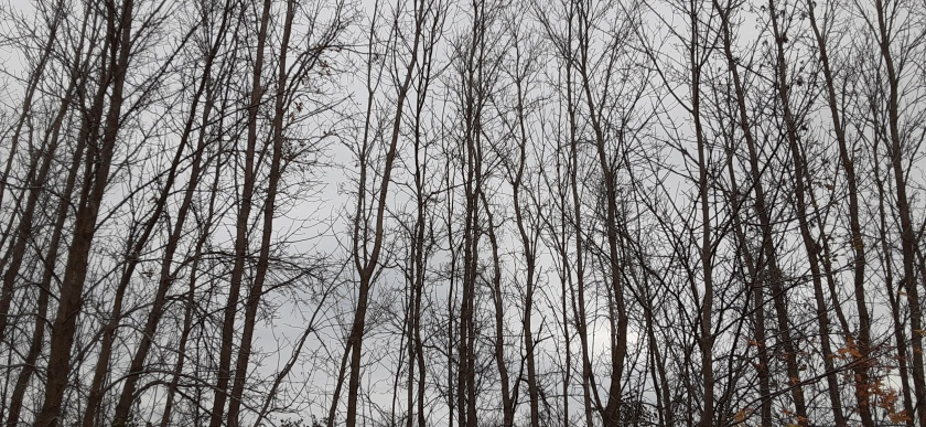 Tops of trees without leaves against a grey sky.