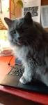 Grey cat on laptop keyboard.